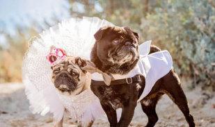 汪星人办婚礼 在60只哈巴狗的见证下喜结连理